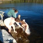 water ouzel swim