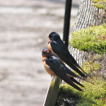 Barn Swallows2