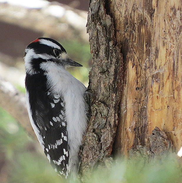 17downy woodpecker