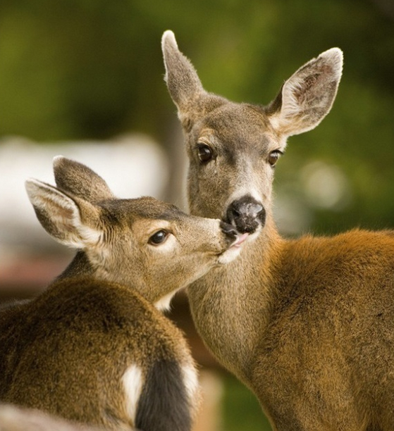 22columbia blacktailed deer